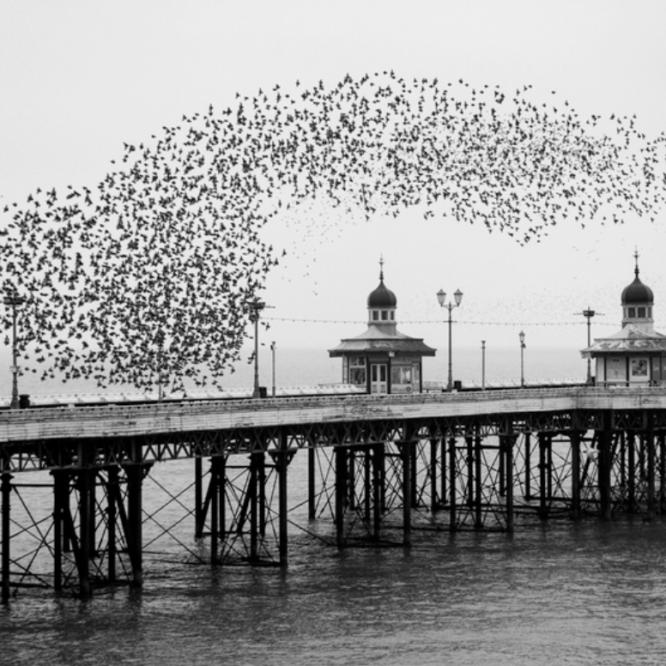 murmuration of birds